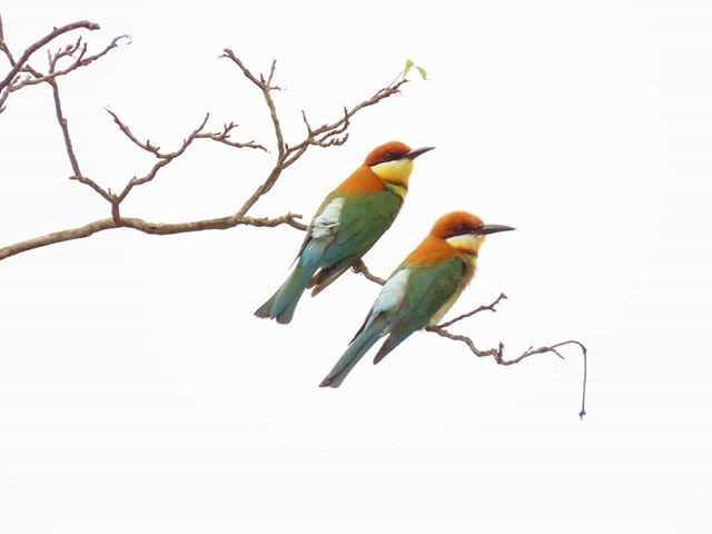 Chesnut-headed bee-eaters.