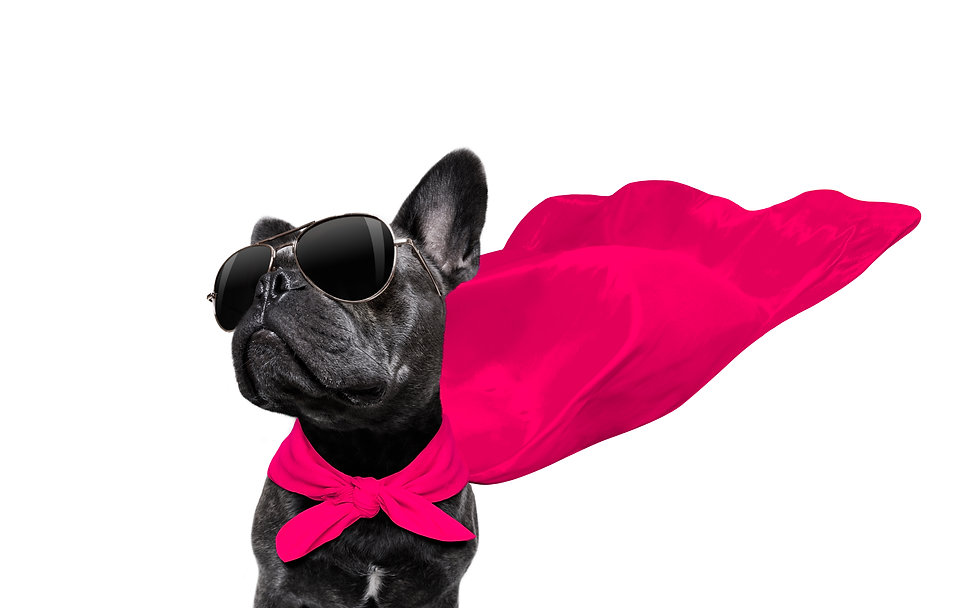super hero french bulldog dog with  red