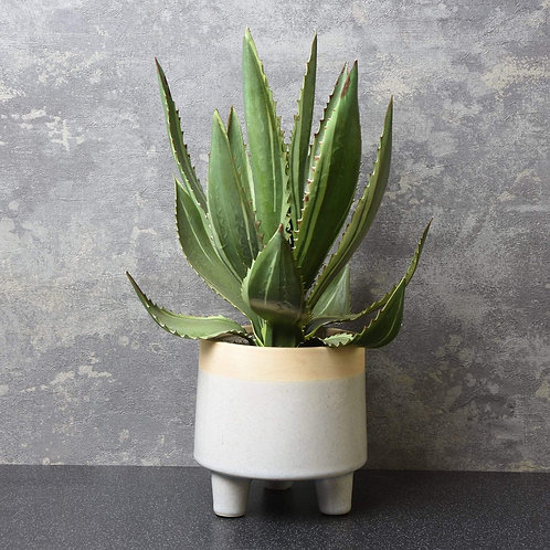 The Flower Patch Aloe Vera Plant in Pot White 36cm