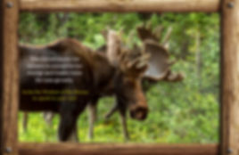 messages and lessons from nature and animals, moose sheds his antlers to conserve energy