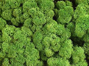Stabilizovaný sobí mech (lišejník) lesní zelená