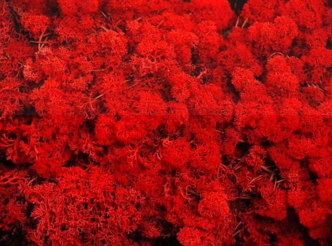 Stabilizovaný sobí mech (lišejník) červená