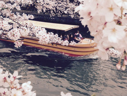 Sakura (Cherry Blossom) Viewing in Kimono
