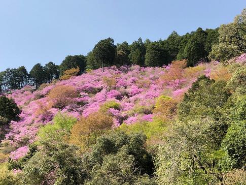 Azaleas at Saimyoji Temple