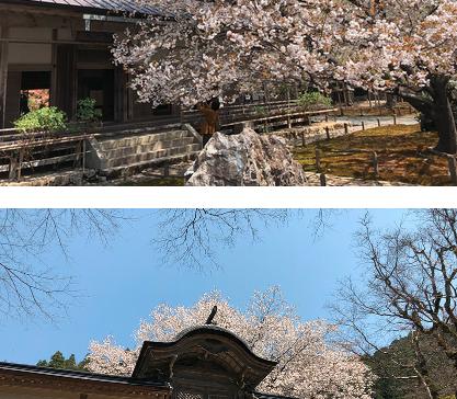 A Cherry Tree at Joshokoji Temple
