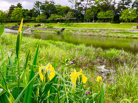 Yellow Shoubu Flowers at Kamo River Bank