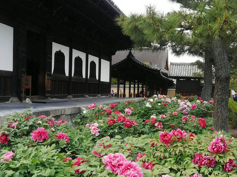 Peonies at Kennin-ji Temple
