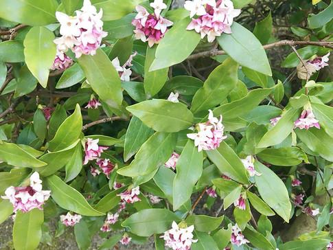 Jinchoge Flowers