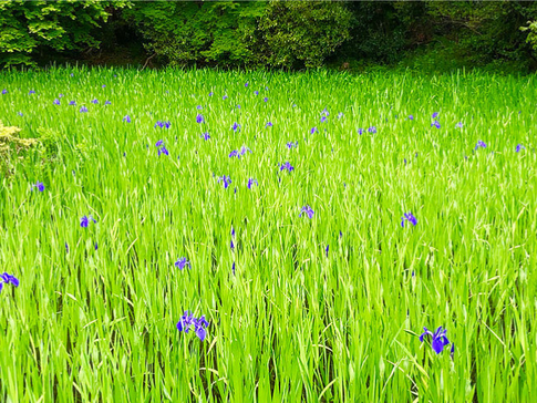 Kakitsubata, Rabbit-ear Iris at Ohtanosawa