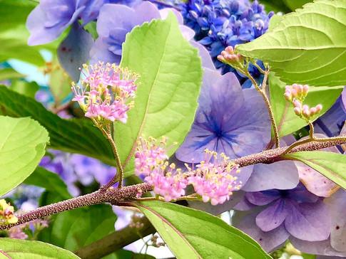 Hydrangea and Murasakishikibu (Japanese Beautyberry)