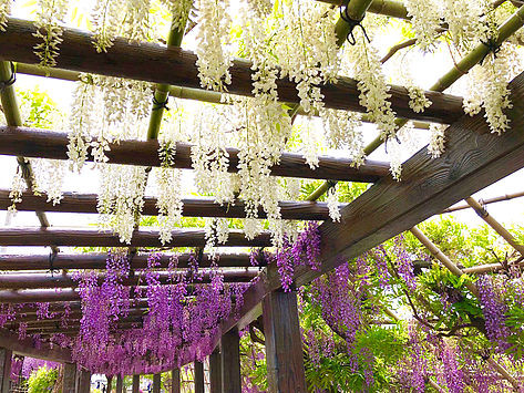 Wisteria Flowers at Toba Aquatic Conservation Center