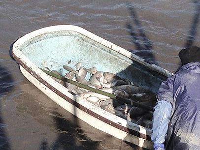 KOI-AGE (Carp Catching) at HIROSAWA Pond