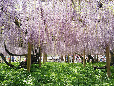 A View of Buddhism Pure Land, Wisteria Flowers at Byodoin Temple