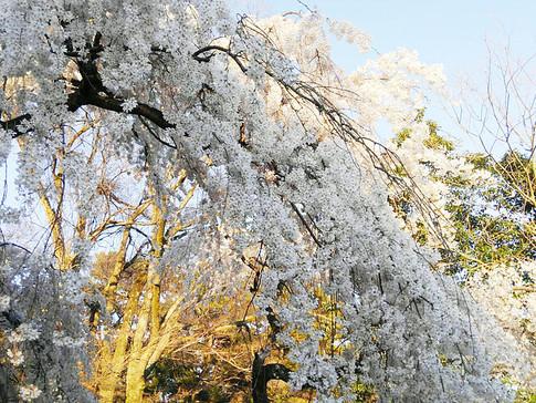 Konoe no Itozakura (Droopy-Branch Cherry Tree) at Kyoto Gyoen National Garden
