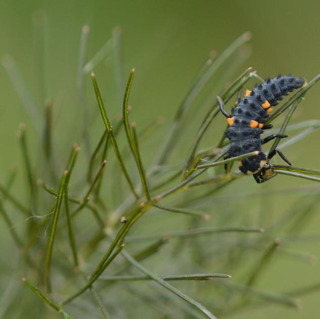 larve_coccinel.jpg