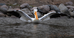Pelican morning