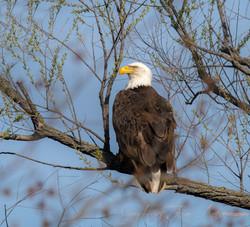 Eagle Female Gray