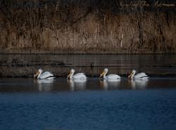 Pelican Quadruple Gray