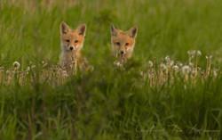 Fox Kit Twins GRAY