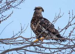 eagle3GRAY