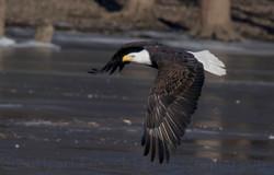 a-eagle2