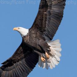 a-eagle4