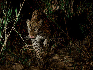 A Leopard in the Darkness