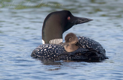 baby mom loon