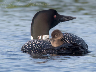 Oil Spills and Minnesota State Bird