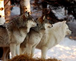 triplewolfFINAL