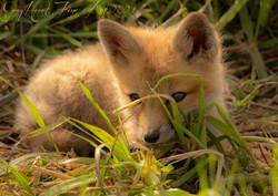 Baby Fox 2 Gray