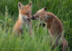 Fox kits at Play  - Windy GRAY