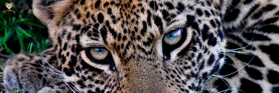 leopard for site image.jpg