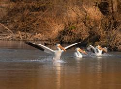 Triple Pelican Gray