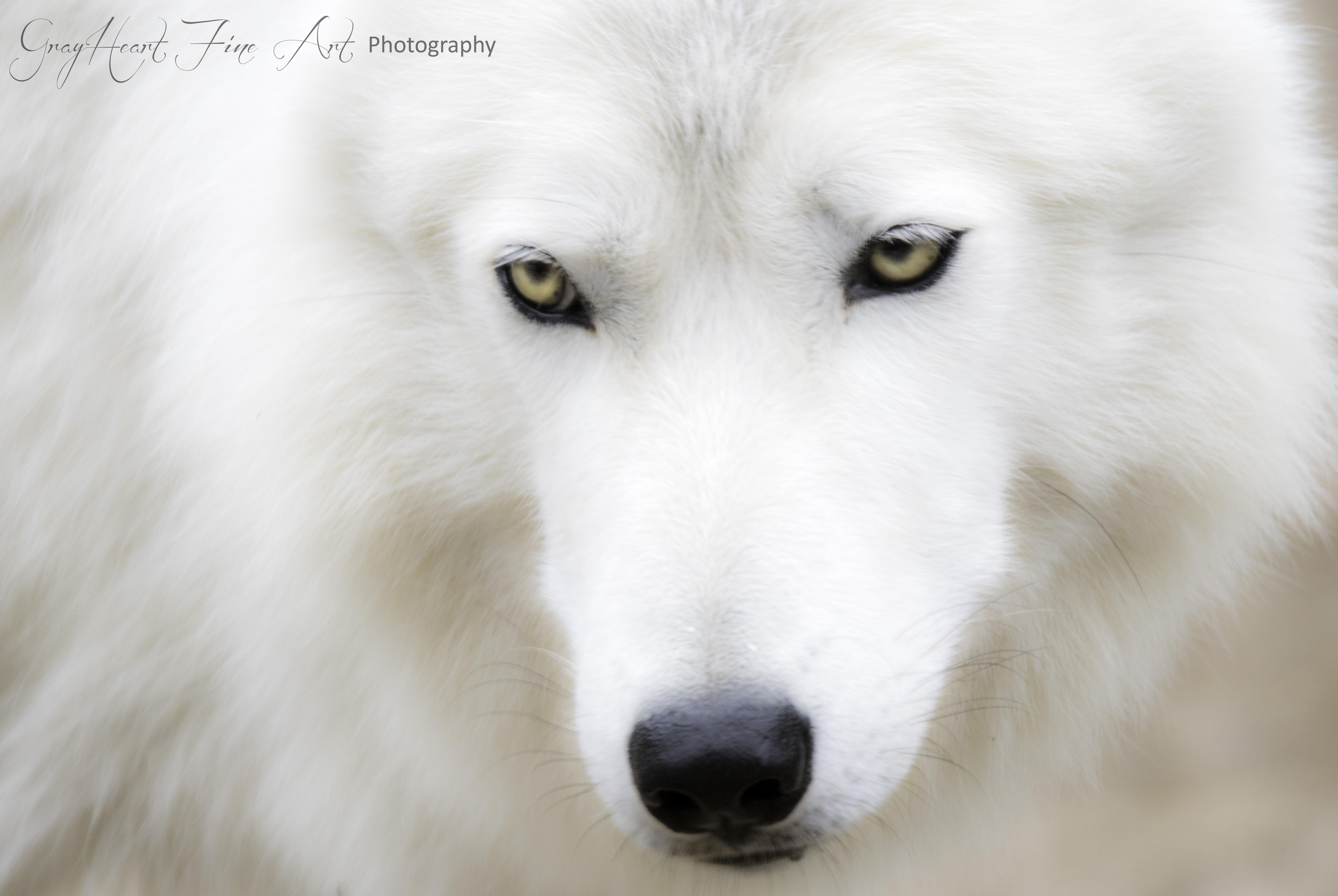 White Wolf - Justin - small version to e