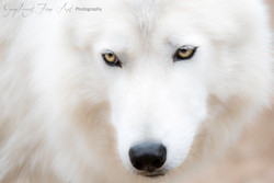 White Wolf - Justin - small version to e