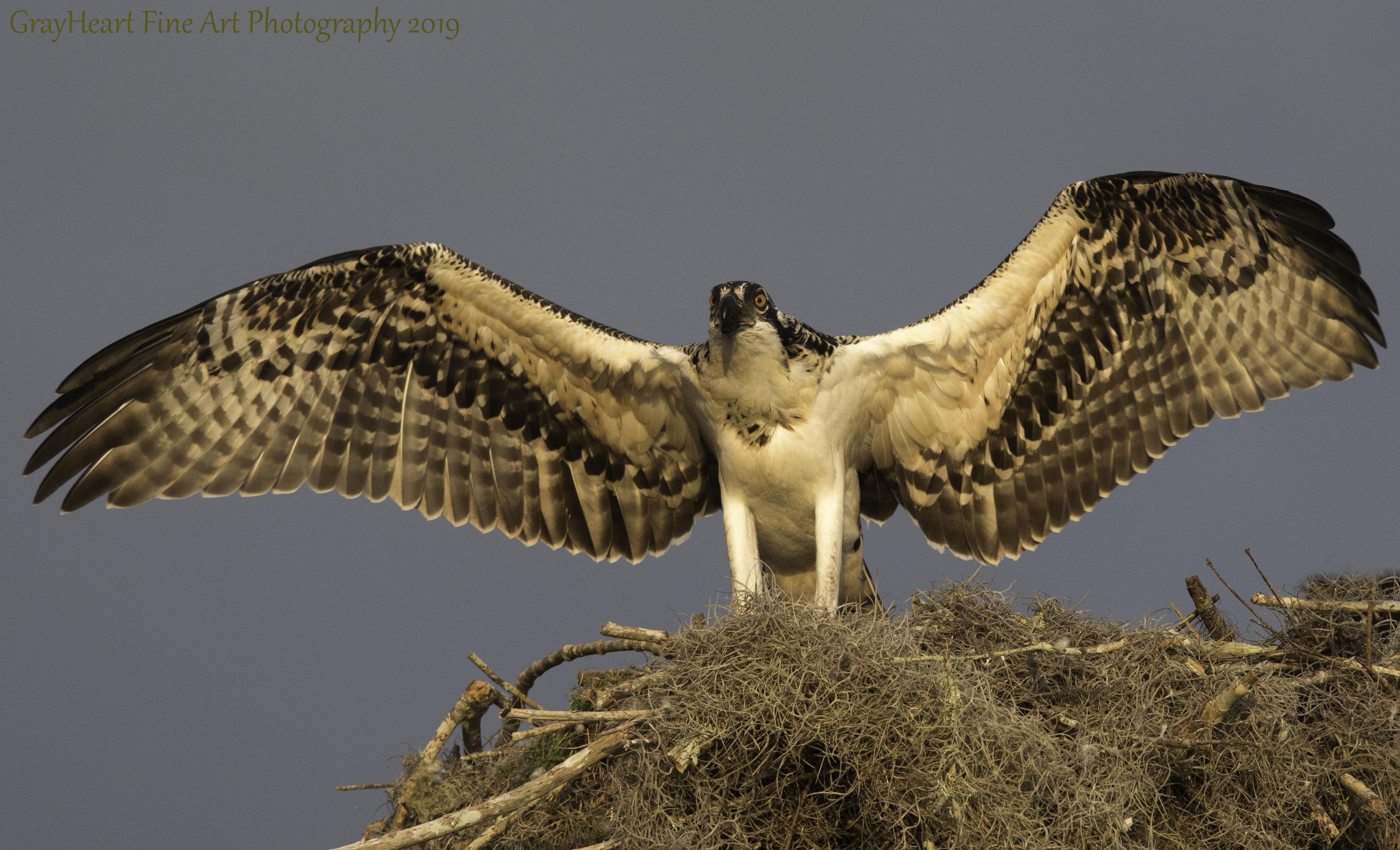 osprey7
