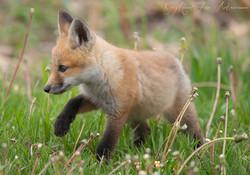 Fox Kit Prancing