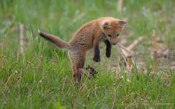 Fox Leap Gray