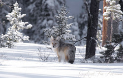 coyote ynp