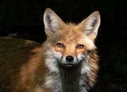 Fox2 gray