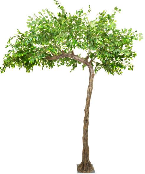 3m_Arched_Ficus_Tree.jpg