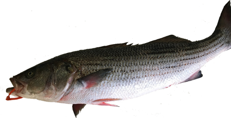 Local Wild Stripe Bass (price per lb, 1 fillet min)