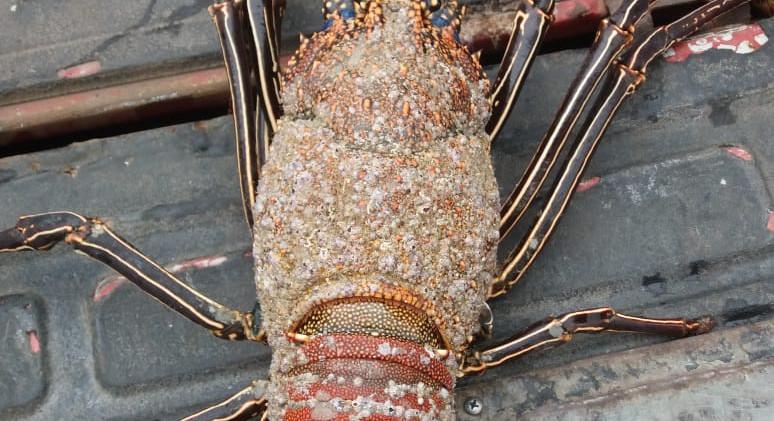 Galapagos lobster