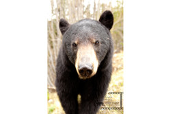 Black Bear アメリカクロクマ