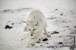 Arctic Fox ホッキョクギツネ