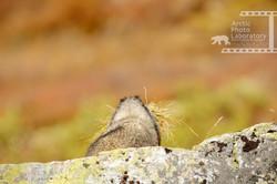 Hoary Marmot シラガマーモット