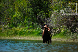 Moose ヘラジカ