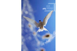 Arctic Tern キョクアジサシ