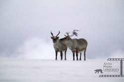 Svalbird Caribou スバールバルカリブー